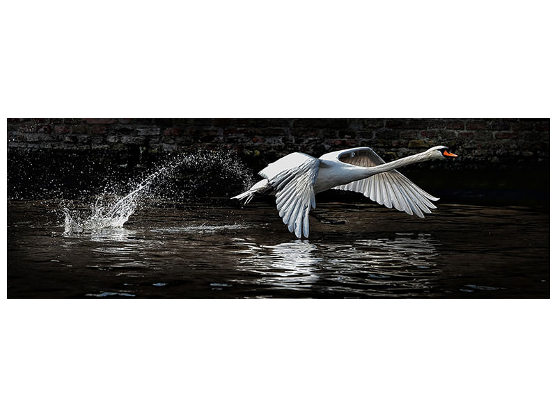 Tableau sur Toile Panoramique Flying Swan