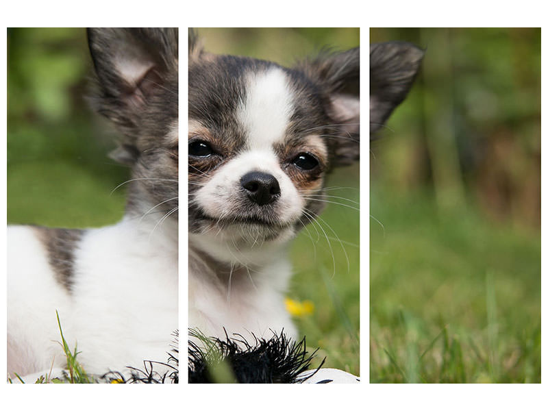3 Piece Canvas Print Chihuahua to fall in love