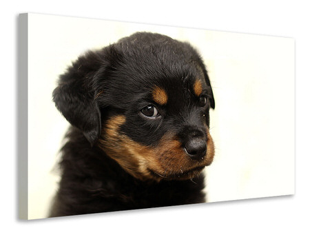 Canvas print Rottweiler puppy to fall in love