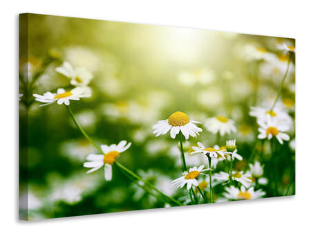 Canvas print The Daisy