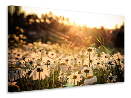 Canvas print Daisies At Sunset
